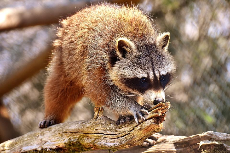 El mapache transmite enfermedades y está entre nosotros